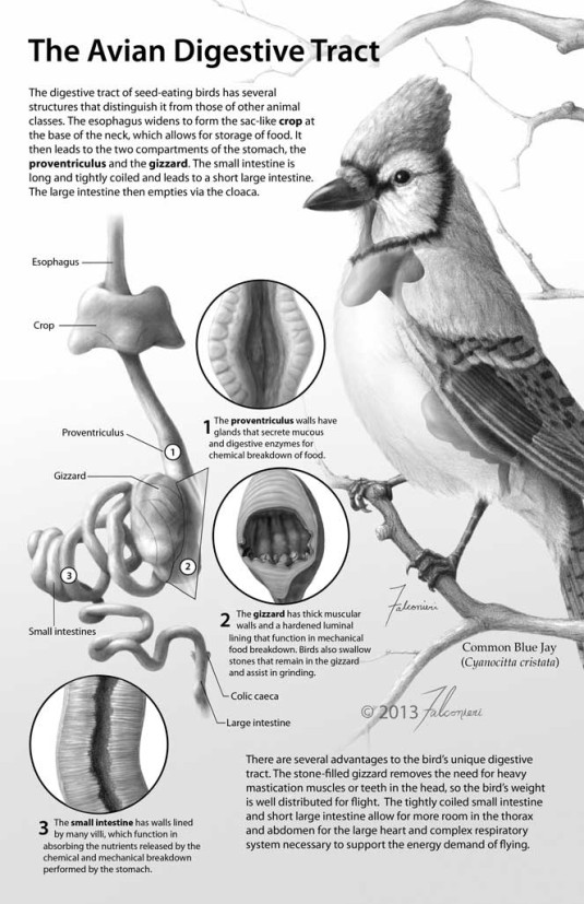 The Avian Digestive Tract
