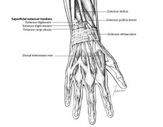 The Dorsal Muscles of the Forearm and Hand