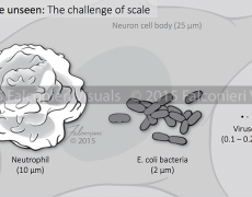 Cell, Bacteria, and Virus size