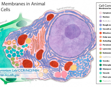 Biological Membranes in Animal and Plant Cells