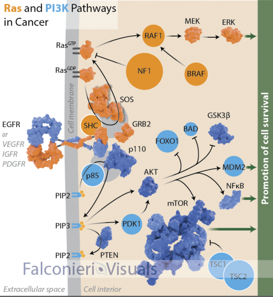 Falconieri_cancer_Ras_PI3K_pathways-01