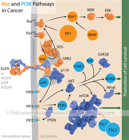 Falconieri_cancer_Ras_PI3K_pathways_watermark-01