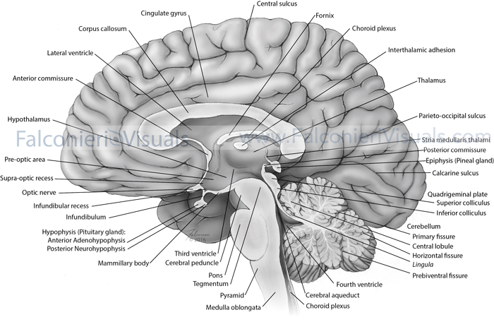 Labelled anatomical illustration of the human brain from mid-sagittal view.