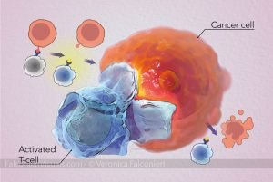 T-cell attacks cancer cell in response to immunotherapy treatment