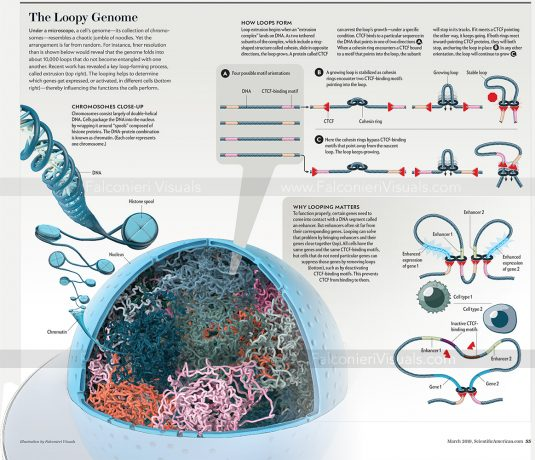 The Loopy Genome